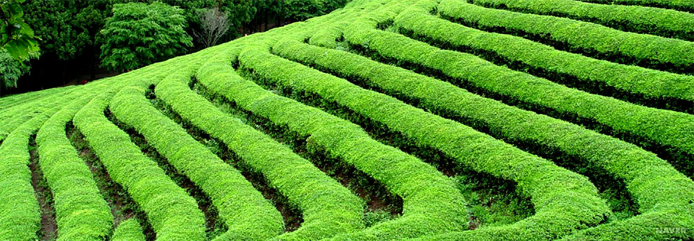 GreenTea Field